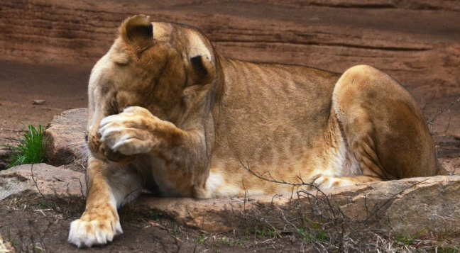 embarrassed-lion